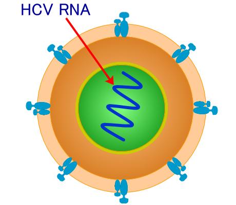C型肝炎ウイルス