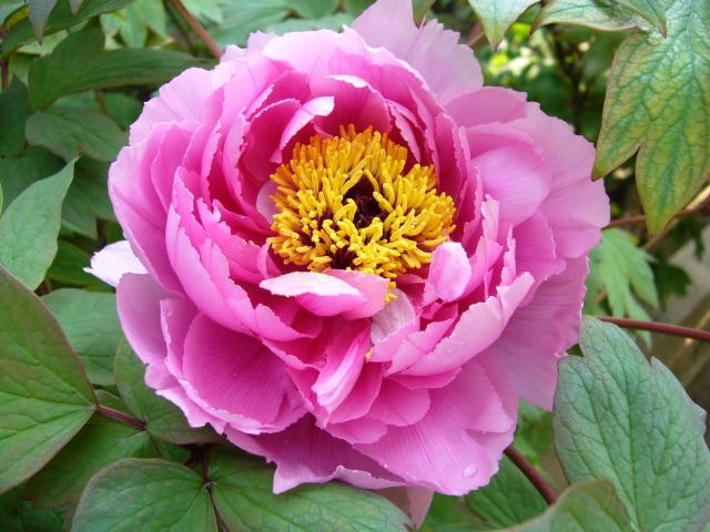 立てば芍薬、座れば牡丹、歩く姿はゆりの花